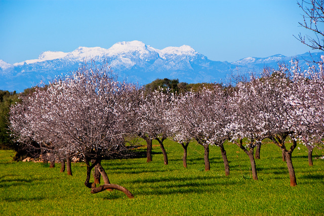 Almond trees are very beatuiful