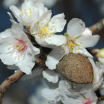 Almond fruit not a nut with a flower